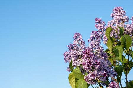 Spring blossoms lilac against the blue sky Banco de Imagens