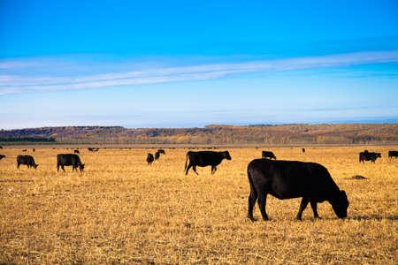 Black Angus Bulls on the meadow