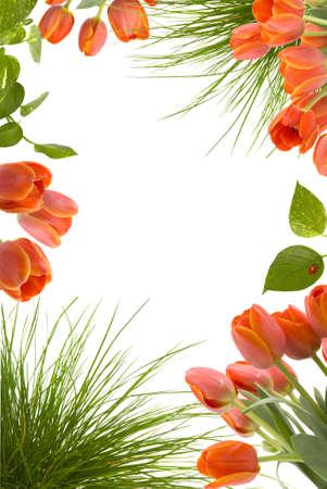 튤립, 식물 잎, 아가씨 버그와 잔디와 함께 아름 다운 꽃 프레임