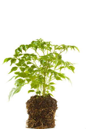 Green plant with roots and soil showing