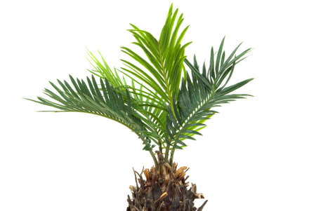 Real dwarf palm tree isolated on white background