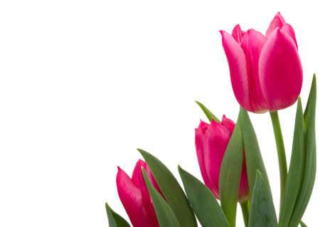 Elegant tulips Banque d'images