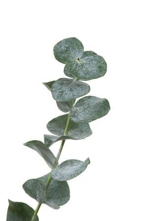 Eucalyptus leaf on white background