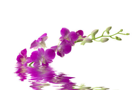 reflection: Beautiful fresh orchid with water reflection Stock Photo