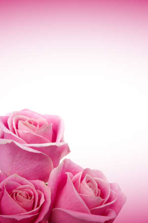 Beautiful pink roses Banque d'images