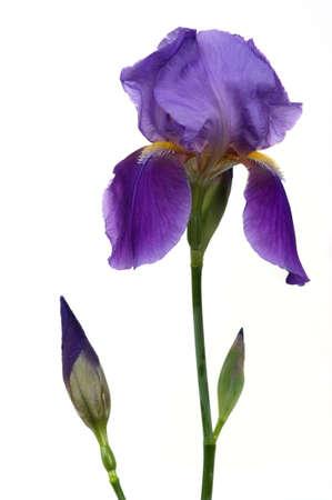 Beautiful iris flower Reklamní fotografie