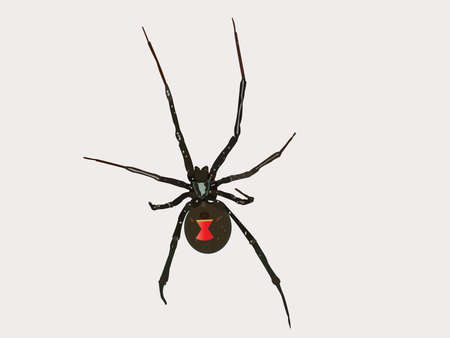 Black widow spider Ilustrace