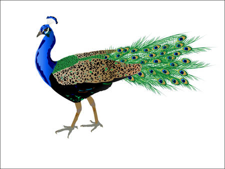 Peacock with beautiful feathers Illustration