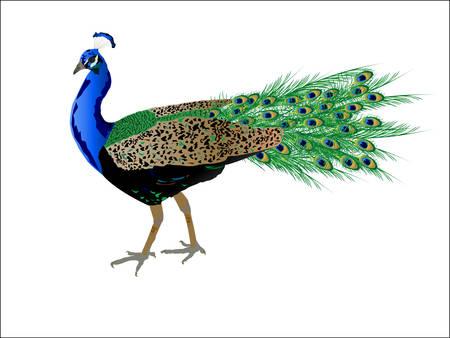 Peacock met mooie veren
