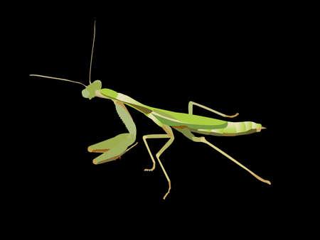 Praying Mantis  Ilustrace