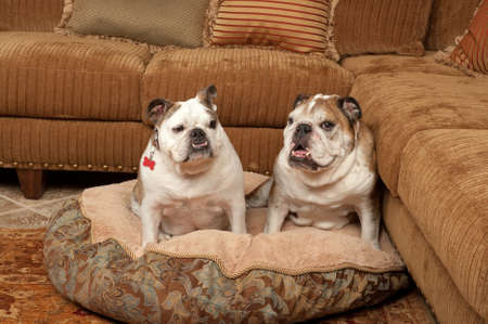 frienship: Bulldogs with their bed