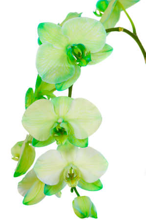 Green orchid ( real fresh orchid )