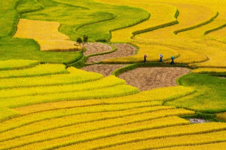 yen: Terraced rice fields in Mu Cang Chai, Yen Bai, Vietnam