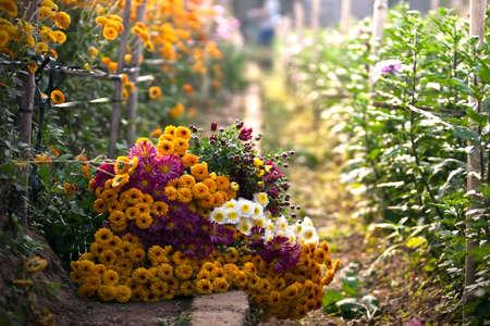 Yellow daisy flower and sunlight photo