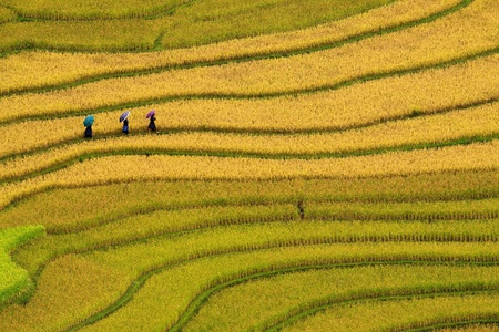 terraced rice fields - three women visit their rice fields in Mu Cang Chai, Vietnam  photo