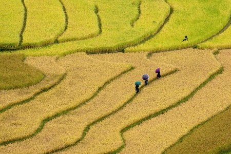 terraced rice fields - three women visit their rice fields in Mu Cang Chai, Vietnam  photo