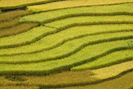 The landscape of Saigon: Ruộng bậc thang - những cánh đồng lúa bậc thang vàng Mù Cang Chải, Việt Nam