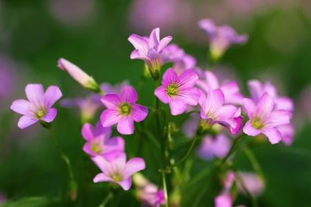 oxalis corniculata linn: Oxalis corniculata flowers
