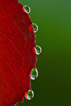 Water drops on rose leaf photo