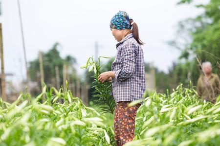 sidewalk sale: HANOI, VIETNAM - APRIL 13, 2014  Life in Vietnam - Unidentified farmer harvests Lilium longiflorum flowers in Ha Noi Vietnam