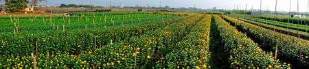carlsbad: Panorama of flowers fields in Nam Dinh, Vietnam