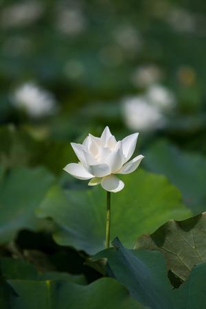 nelumbo nucifera: Lotus flower and Lotus flower plants