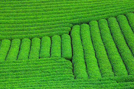 Beautiful fresh green tea plantation in Moc Chau dicstric, Son La province, Vietnam  photo