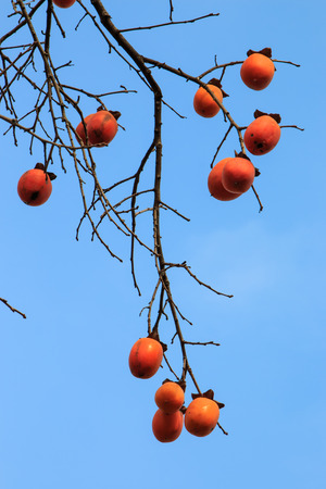 persimmon tree: a lot of fruit ripe persimmon tree  Stock Photo