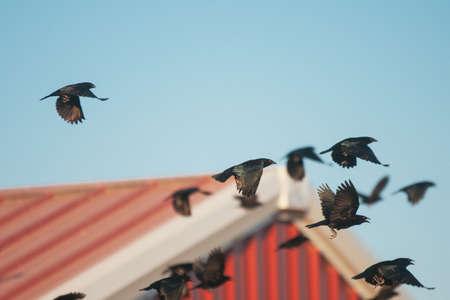 cuervos volando Foto de archivo - 20869392