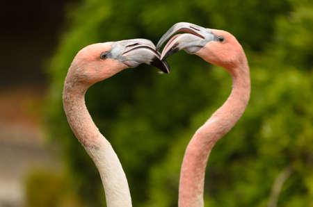 birding: details of flamingos
