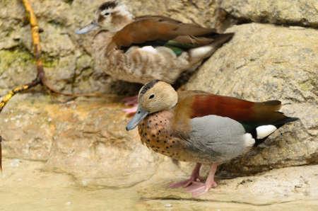birding: wild duck