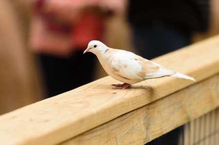 pidgeon: picture of a dove Stock Photo