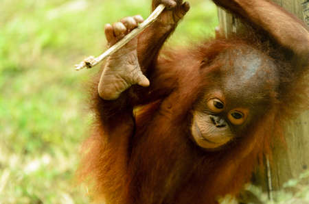 young orangutan playing