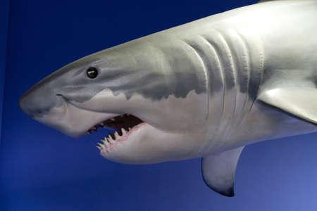 model fish: Model of great shark over blue background