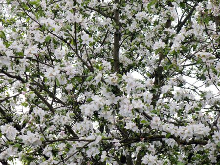 crone: Crone of an apple-tree blossoming by white color