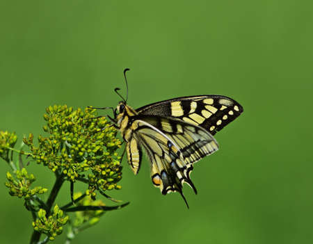 Old World Swallowtail Papilio machaon or common yellow swallowtail with green background Stock Photo