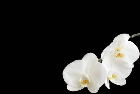 White orchid in the right corner on a black background photo