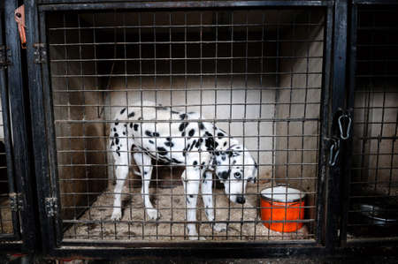 Dalmatian with sadness looking through a cage in a dog shelter