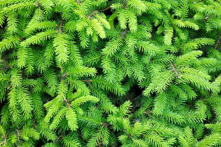 pine green: Branches of conifer background Stock Photo