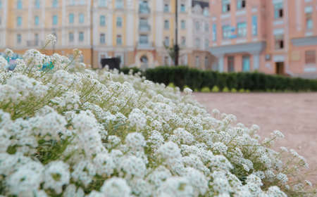 White wild flowers in the old part of Kyiv, Ukraine Stock fotó