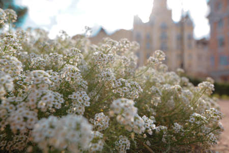 White wild flowers filled with sunlight in the old part of Kyiv, Ukraine