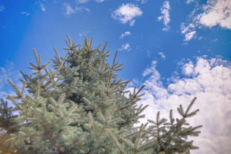 Pine neadles against the blue cloudy sky