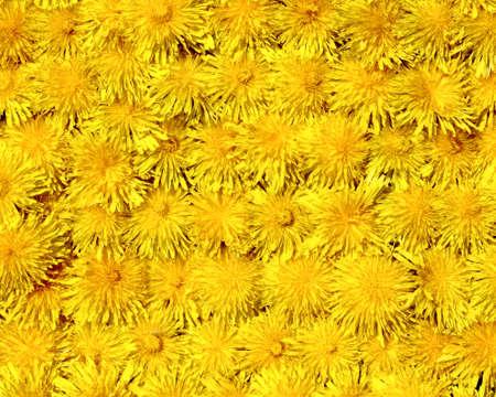 Dandelion blooms Stock Photo - 4861818