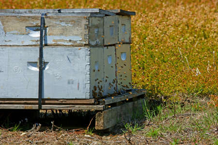 Honey bees and beehive  photo