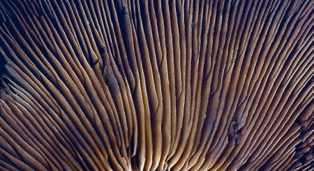Portabella mushroom gills  photo