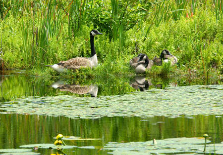 flack: Canadian geese