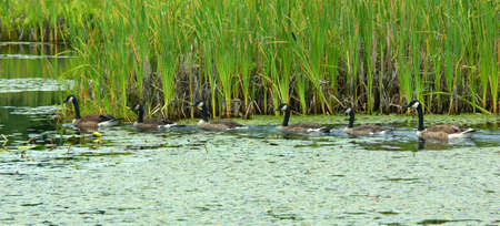 Canadian geese in a line Stock Photo - 5168706