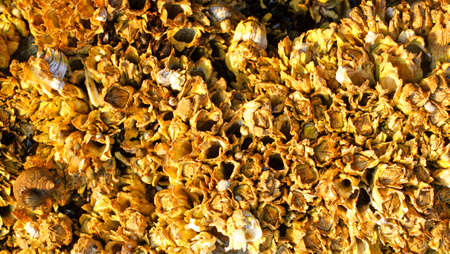 barnacles: A close group of barnacles with snails in the very early light on the coast of Maine.