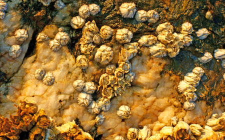 barnacles: Barnacles attached to rocks on the coast of New England.  Stock Photo
