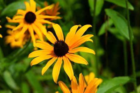 brown  eyed: Several brown eyed Susans with the central flower in focus.